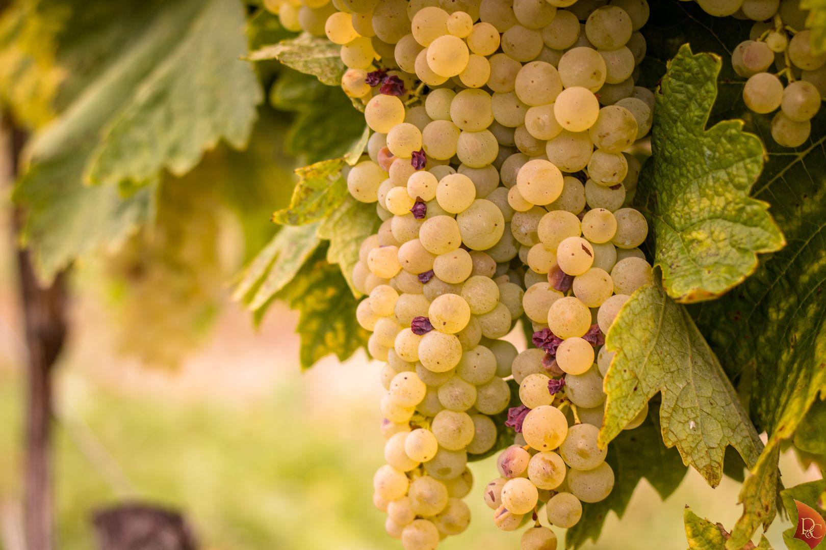 P&C Grappe Raisins Blancs récolte